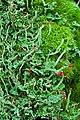 Lipstick Powderhorn (993339548).jpg