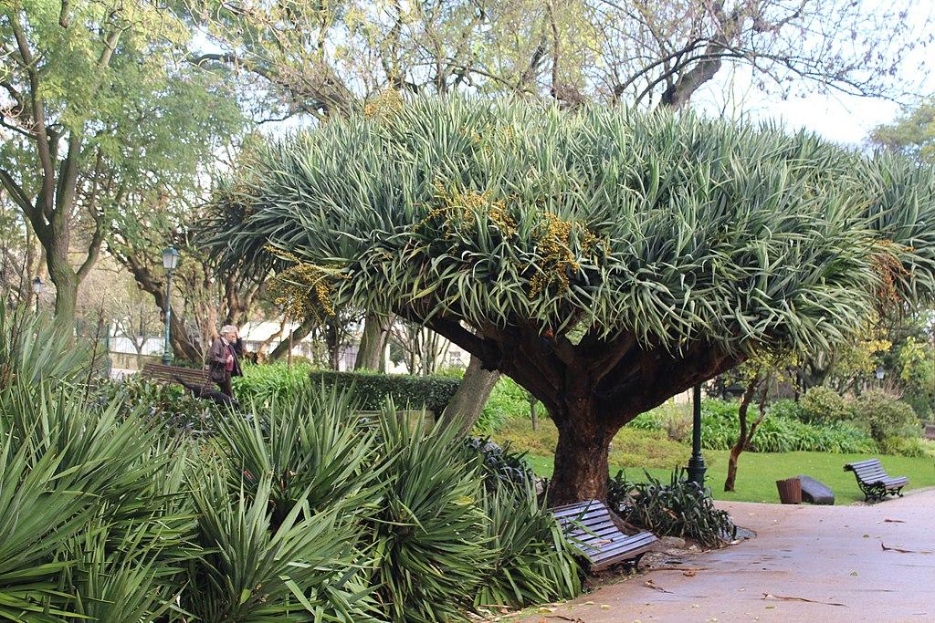 Dracaena draco dans le jardin d'Estrela à Lisbonne - Photo de Dguendel