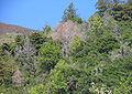 Lithocarpus densiflorus dead.jpg