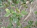 Lithrea caustica leaves 1 - FracGuy.jpg