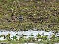 Little Ringed Plover (Charadrius dubius) (34250088356).jpg