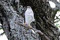 Little Sparrowhawk (Accipiter minullus) (17330414916).jpg
