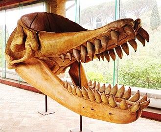 Physeteroidea - Livyatan melvillei skull