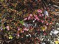 Loiseleuria procumbens greplyng Blefjell IMG 1567.jpg