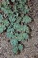 Lomatium martindalei 8525.JPG