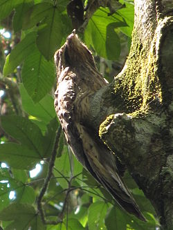 Long tailed potoo belly.jpg