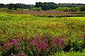 Loosestrife landscape, Concord, Massachusetts 2.jpg