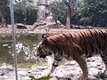 Lovely bengal tiger.jpg