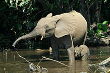 An adult and a young elephant bathing