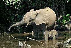 une mère éléphante de forêt, et son petit éléphanteau