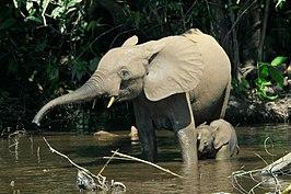bosolifant
