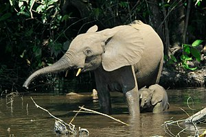 African forest elephant - A female with her calf Mbeli River, Nouabalé-Ndoki National Park, Republic of the Congo
