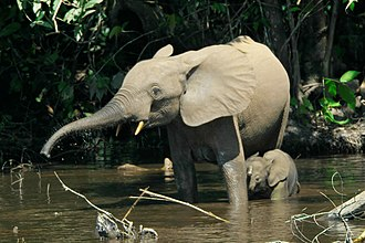 African forest elephant - A female with her calf in Mbeli Bai, Nouabalé-Ndoki National Park, Republic of the Congo
