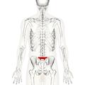 Lumbar vertebra 5 posterior.png