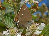 Lycaenidae - Satyrium spini-1.JPG