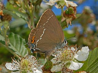 <i>Satyrium spini</i> species of insect