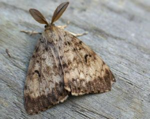 Adult male gypsy moth.