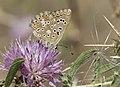 Lysandra corydonius - False chalk-hill blue, Sivas 2018-08-16 03.jpg