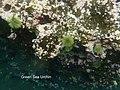 Lytechinus semituberculatus 17 May Tagus Cove snorkel (47927485113).jpg