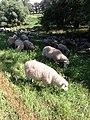 Müggendorf Schafe auf Elbdeich 2013-07-23.JPG