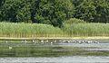 MOs810, WG 2014 39, Milicz Ponds Chrobot pond (3).JPG