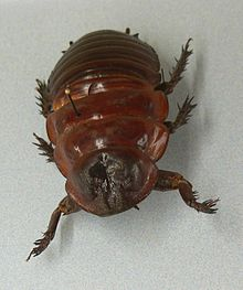 MP - Macropanesthia rhinoceros 2.jpg