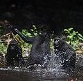Macacanigra fighting.jpg