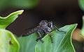 Machimus rusticus, Sète 01.jpg