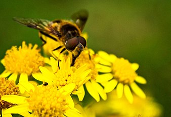 Macro bee details.jpg