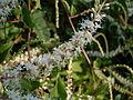 Madeira vine flower (3371956191).jpg