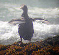 Magellanic Flightless Steamer-Duck Flapping.jpg