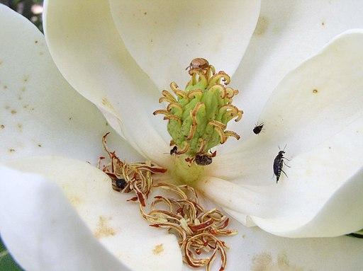 Magnolia6210974