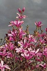 Magnolia liliiflora 2015 G1