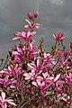 Magnolia liliiflora 2015 G1.jpg
