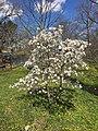 Magnolia salicifolia (Anise Magnolia, Willow-leaved Magnolia, Anise Leaf Magnolia) (41982063645).jpg