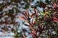 Magnolia sp. (39835606610).jpg