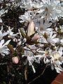 Magnoliales - Magnolia stellata - kew 3.jpg