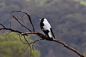Magpie on dead branch02.jpg