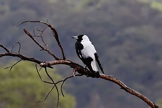 Australian magpie - Male of ssp. tyrannica, showing prominent white back