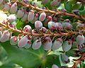 Mahonia japonica kz6.jpg