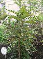 Mahonia lomariifolia Charity1.jpg