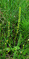 Malaxis monophyllos - habitus 01.jpg
