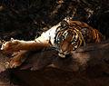 Malayan Tiger (4237797216).jpg