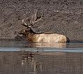 Male Elk 2 (8005281049).jpg