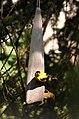 Male and Female Goldfinch 6694 (7381989318).jpg