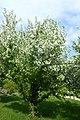 Malus floribunda kz05.jpg