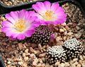 Mammillaria luethyi Flower.jpg