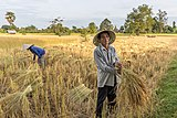 Man harvesting rice in Don Det, Laos.jpg