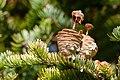 Manchurian Fir Abies holophylla disintegrating cones.jpg