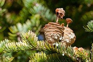 Abies holophylla - Image: Manchurian Fir Abies holophylla disintegrating cones